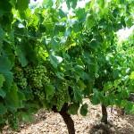 domaine-berge-sainte-rose-vigne